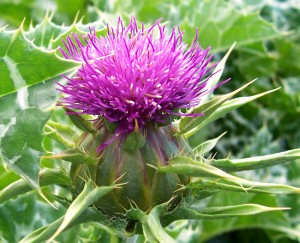 Herb-Blessed_Thistle-300x243