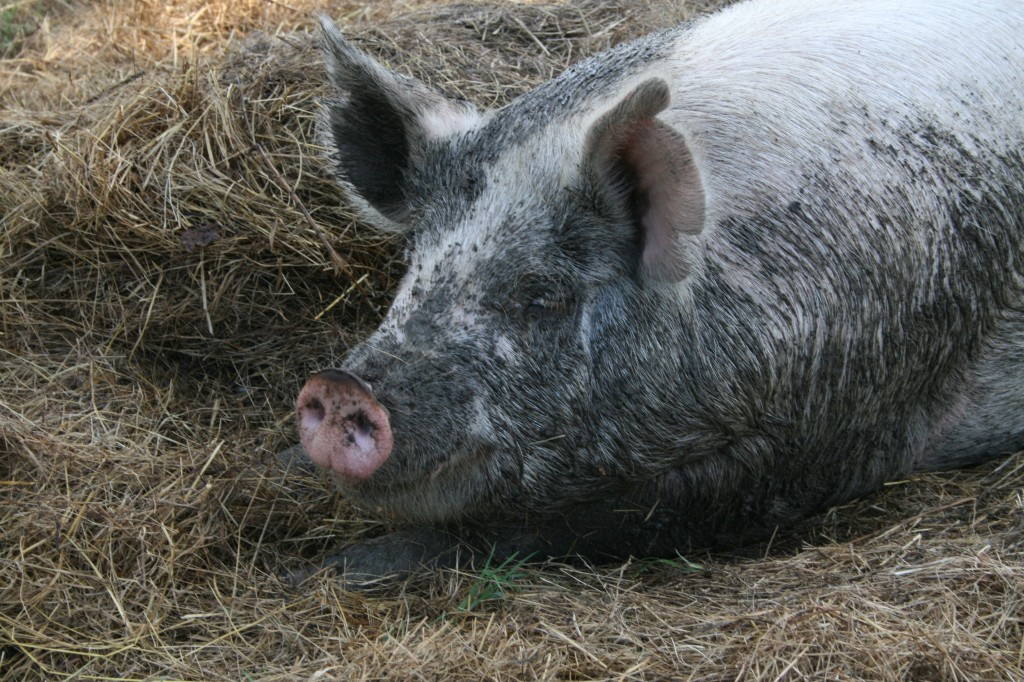 So you dream about homesteading but not sure which animals are best to start with? Heather shares what the top animals for the homestead are and why.
