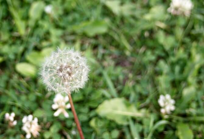 Dandelion Seed Head- Dandelions can be extremely useful for the home, body, AND as food!- Scratch Mommy