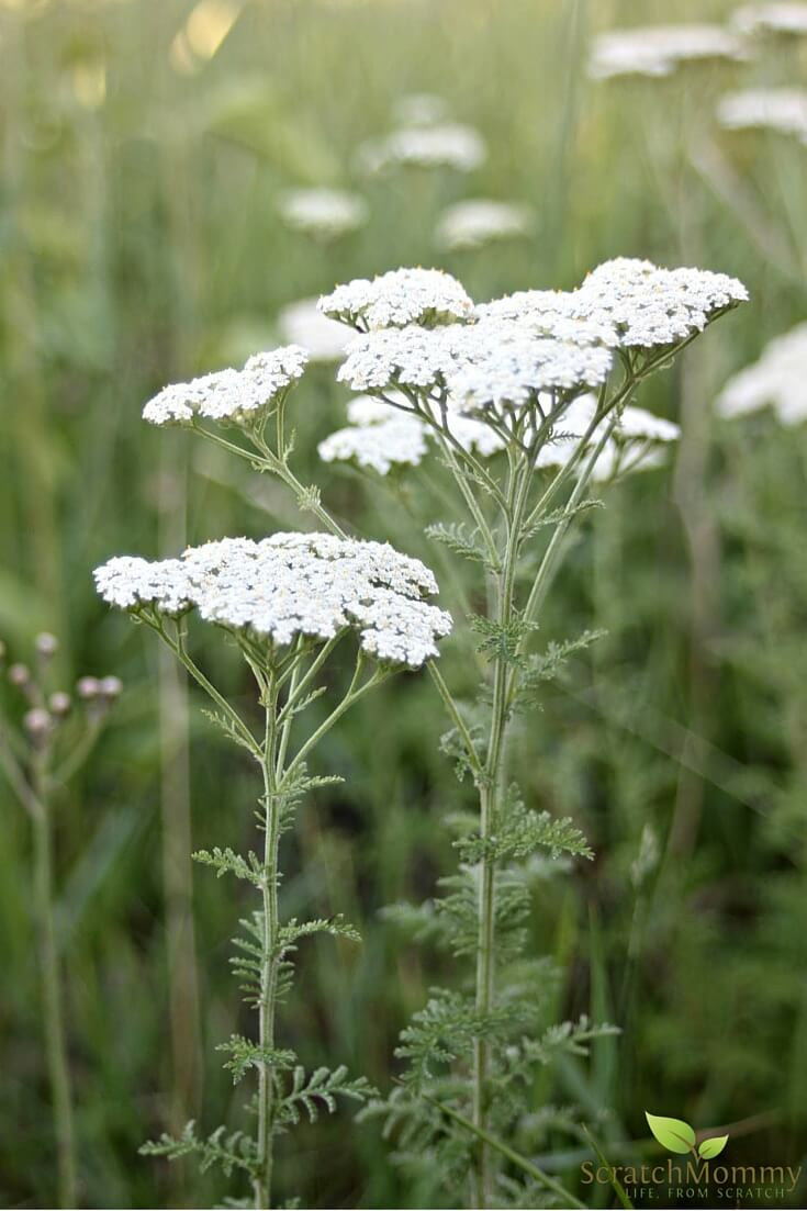 Learn how to use yarrow from your own healing skincare garden!- Scratch Mommy2