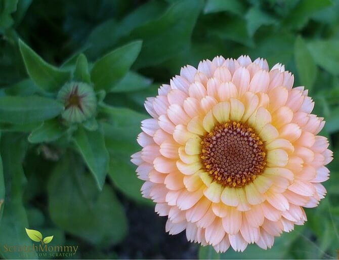 Learn why you should grow calendula in your skin healing herbal garden!- Scratch Mommy