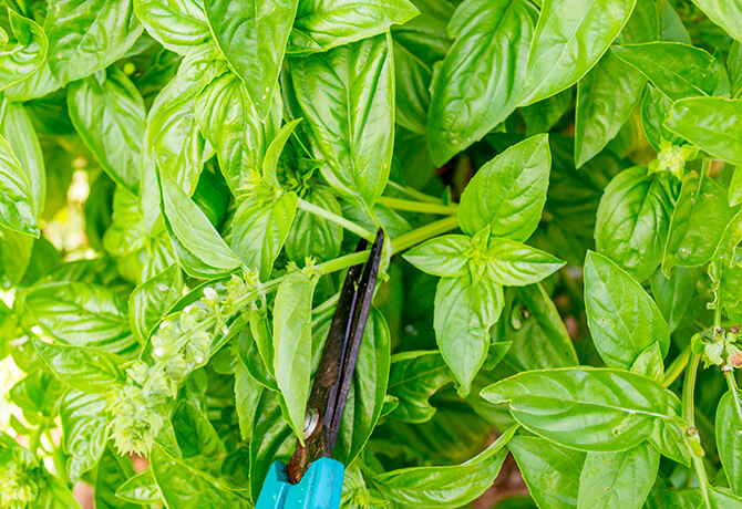 Learn how and where to cut when you prune your herbs- Scratch Mommy