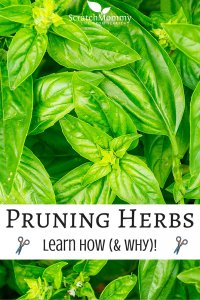 Learn How (and why) To Prune Herbs- Scratch Mommy-2